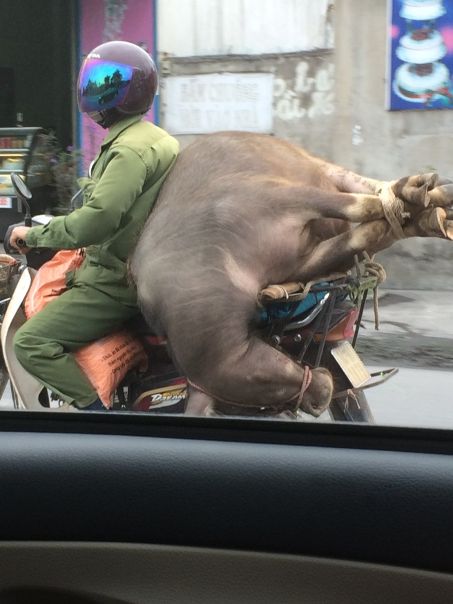 Have water buffalo, will travel ... the things you can transport on your motorcycle in Vietnam