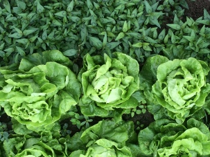 Lettuce and Vietnamese mint, Vietnam Culinary Discovery