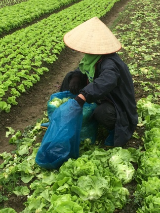 Local farmer harvesting lettuce, Vietnam Culinary Discovery