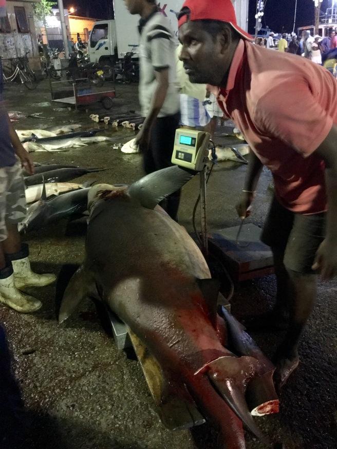 The 232 kilogram catch of the day - Lellama Fish Market, Negombo, Sri Lanka
