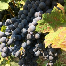 Vranec grapes - Real Food Adventure Macedonia and Montenegro