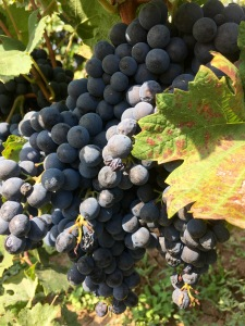 Vranec grapes - Real Food Adventure Macedonia and Montenegro